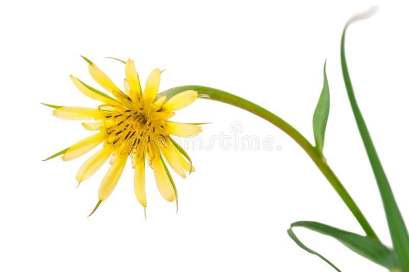 Salsify λουλουδιών που απομονώνεται στο λευκό Dubius Tragopogon στοκ φωτογραφία