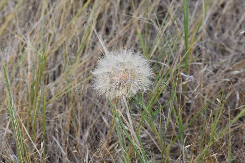 Seed head of a wild Salsify plant. Salsify plants are fairly common in my area of Wyoming, they have a yellow flower and a seed head that looks like a giant royalty free stock images