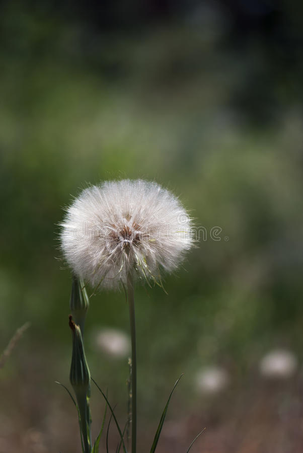 Salsify Seed Head stock photography