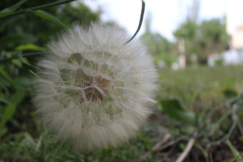 Salsify, Tragopogon. Big fluffy dandelion. stock photos