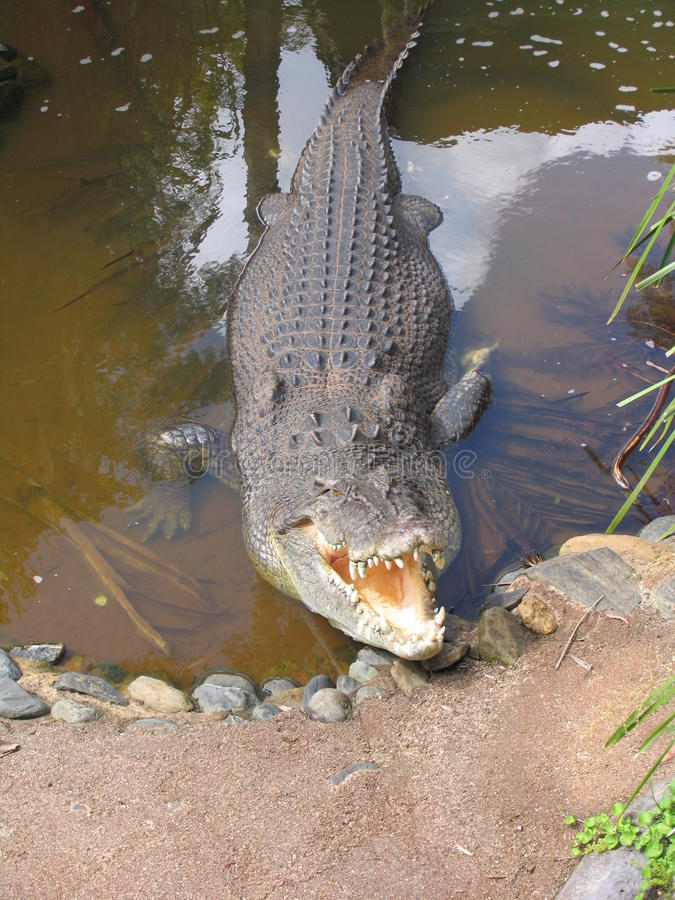 Salt bevattnar (den Estuarine) krokodilen arkivfoton