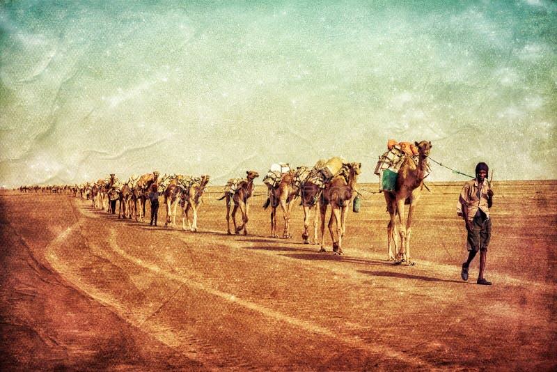 Salt kamel i Dallol, Danakil fördjupning, Etiopien arkivbild