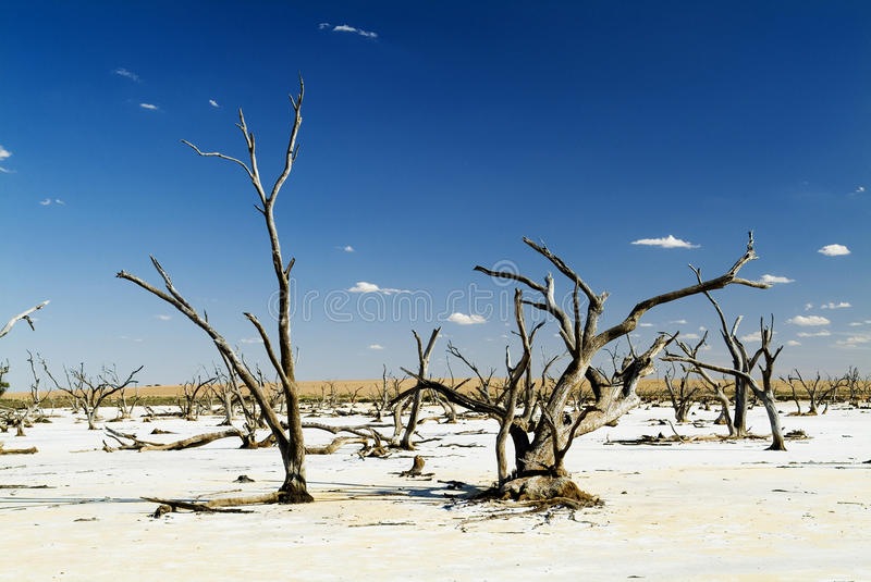 Salt Lakes and Dead Trees. Dead tree trunks and limbs on a white salt lake under blue sky royalty free stock image