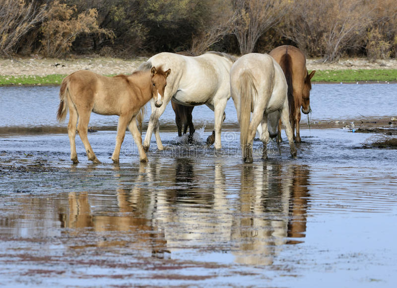 Salt River vildhästhingstföl i floden arkivbilder