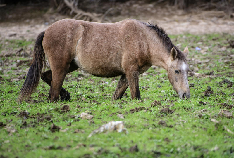Salt River wild horse ankle deep in mud royalty free stock image