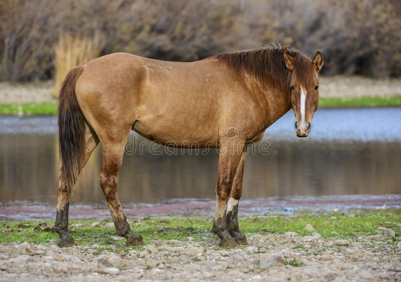 Salt River wild horse portrait royalty free stock photos
