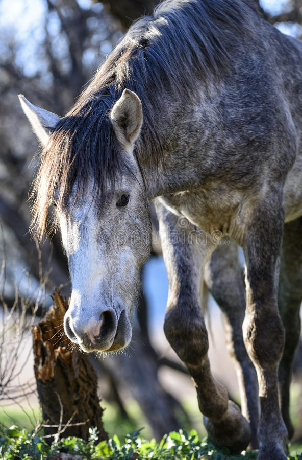 Salt River wild horses. The wild horses, or mustangs, who inhabit the Tonto National Forest on the east side of Phoenix, Arizona stock photo