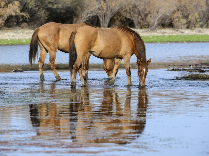 Salt River wild horses at sunset stock photography