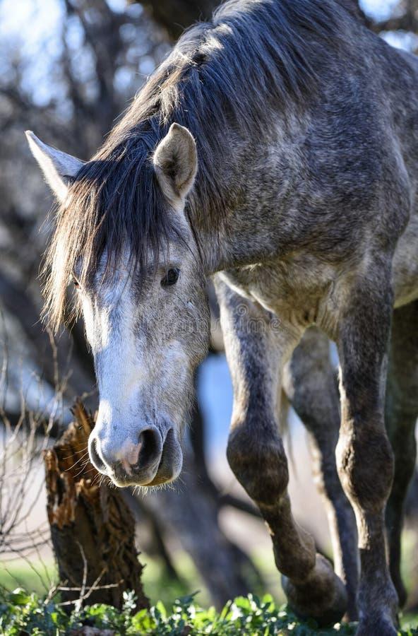 Salt River wilde Pferde stockfoto