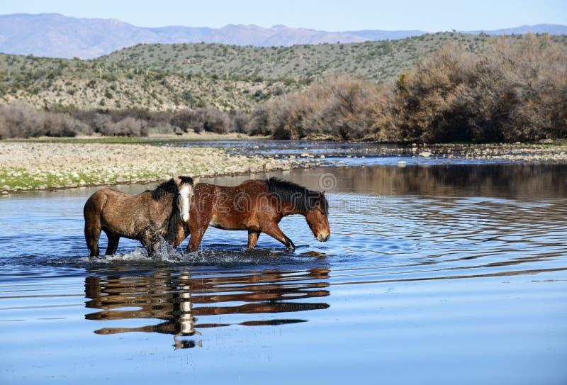 Salt River wilde Pferde stockbilder