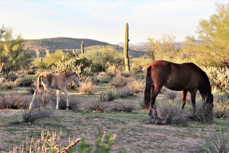Salt River wilde Pferde, in Tonto-staatlichem Wald, Arizona, Vereinigte Staaten stockfotos
