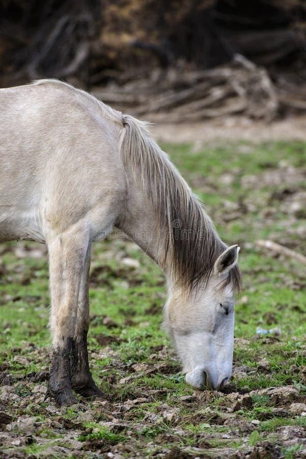 Salt River wildes Pferd mit den Augen geschlossen lizenzfreies stockfoto