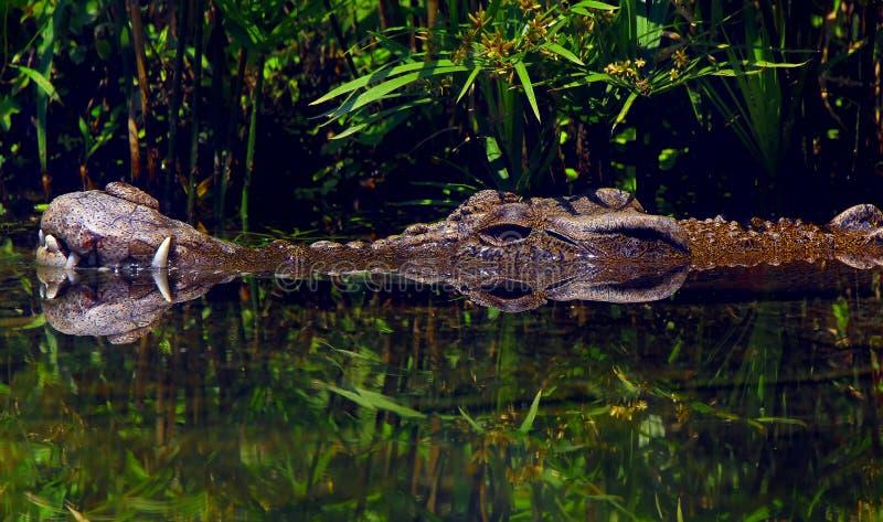 salt vatten för krokodil arkivbilder