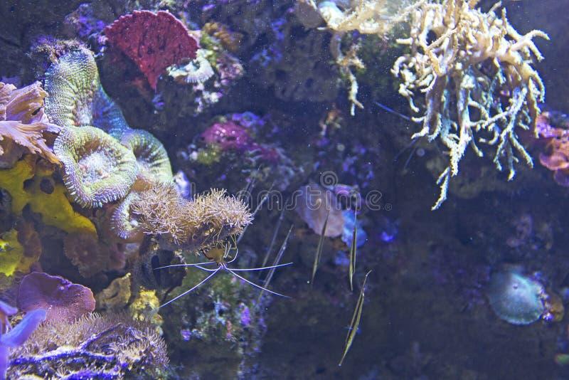 Salt water aquarium shrimp royalty free stock photo