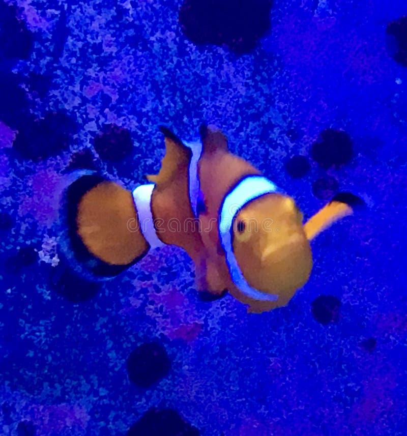 Salt Water Clown Fish stock images