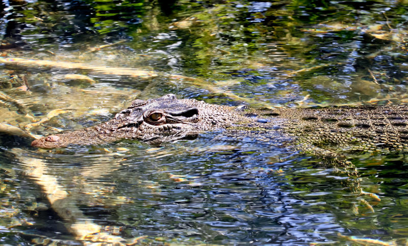 Salt water crocodile. An Australian salt water crocodile lying in wait up a small crystal clear river in far north Queensland stock photos
