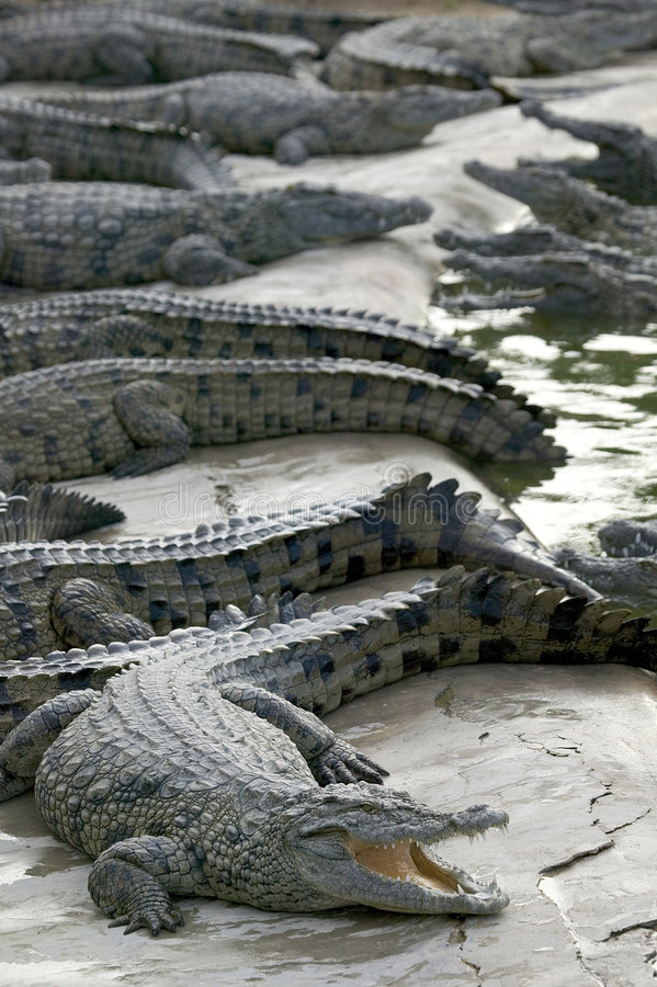 Salt water crocodile royalty free stock photography