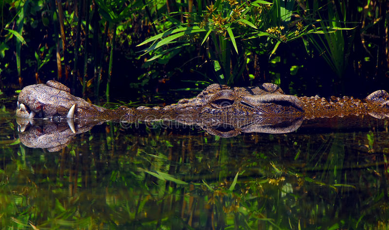 Salt water crocodile stock images