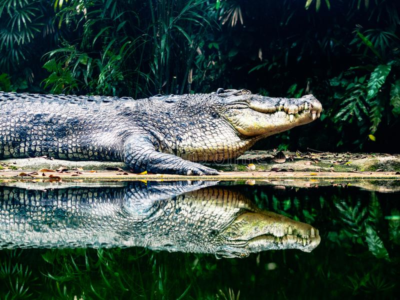 Salt Water Crocodile at water edge. Salt Water Crocodile at waters edge of river in jungle with reflection. dark contrast image stock photo