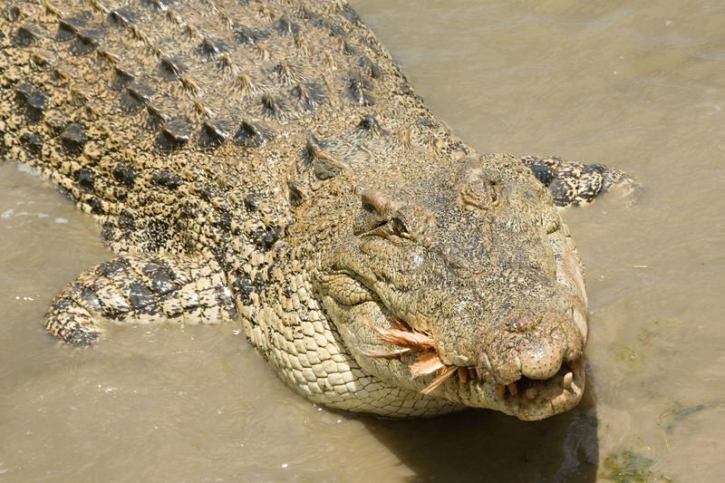 Salt water crocodile feeding royalty free stock images