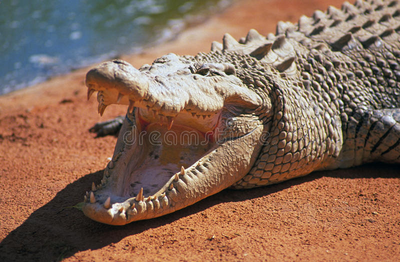 Salt water crocodile with open moutn. SOUTH PACIFIC: AUSTRALIA: A giant 25-foot long salt water crocodile sunning himself on a red earth bank in western royalty free stock image
