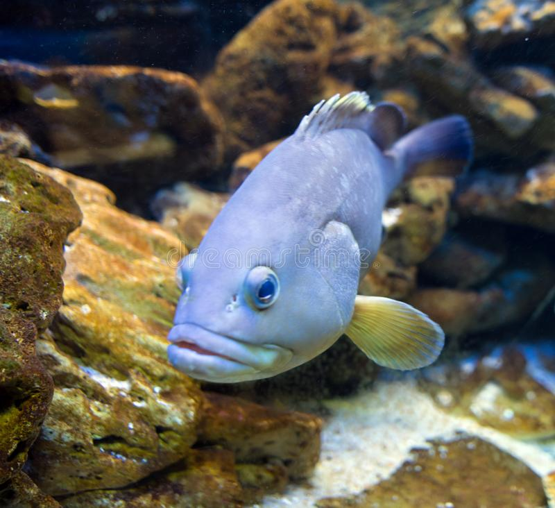 Salt water fish, an underwater image. A fish photographed in salt water stock photos