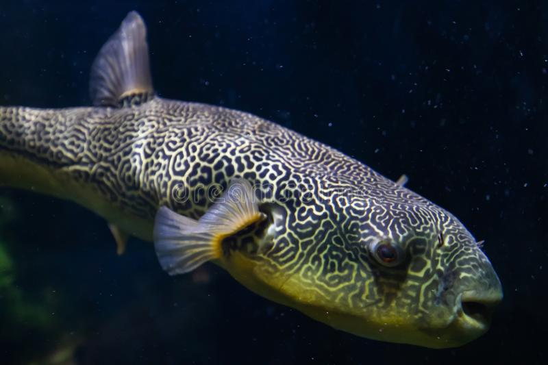 The Salt Water Puffer fish close-up underwater.  royalty free stock photos