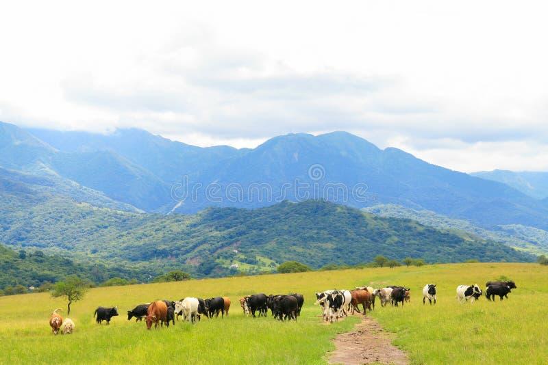 Salta. Cattle grazing on a green field near Salta, Argentina stock images