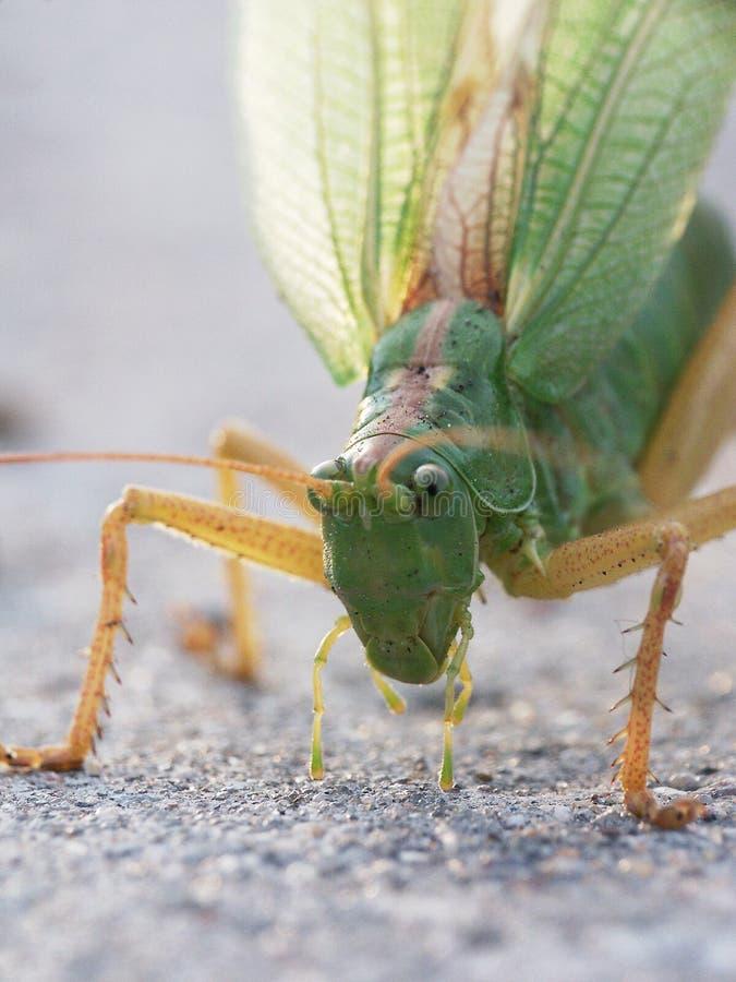 Download Saltamontes foto de archivo. Imagen de dragón, insectos - 179034