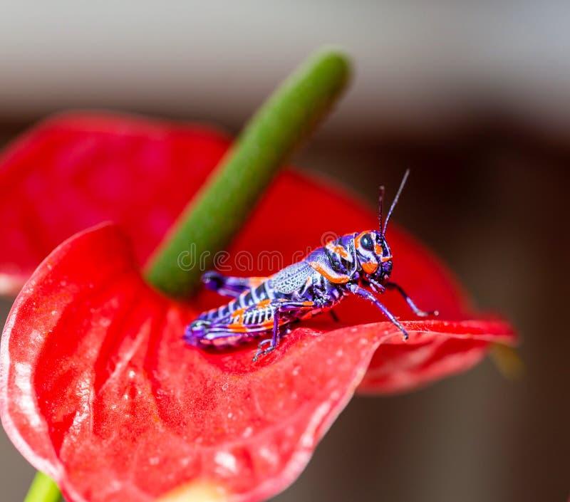 Saltamontes bicolor, fotos de archivo