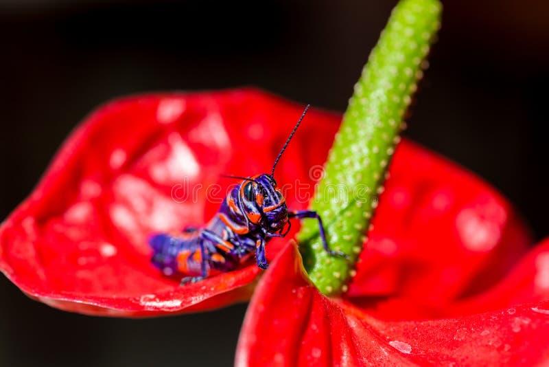 Saltamontes bicolor, foto de archivo libre de regalías