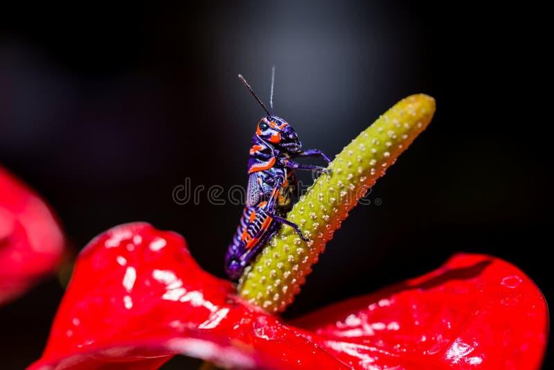 Saltamontes bicolor, imagen de archivo