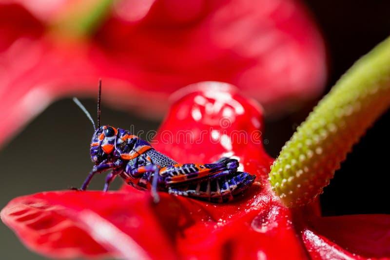 Saltamontes bicolor, foto de archivo