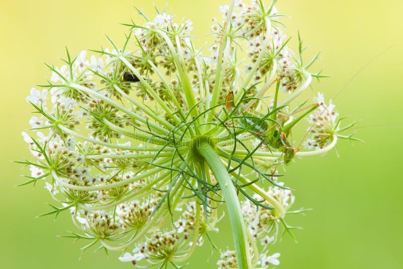 Saltamontes camuflado en flor-primer del prado imágenes de archivo libres de regalías