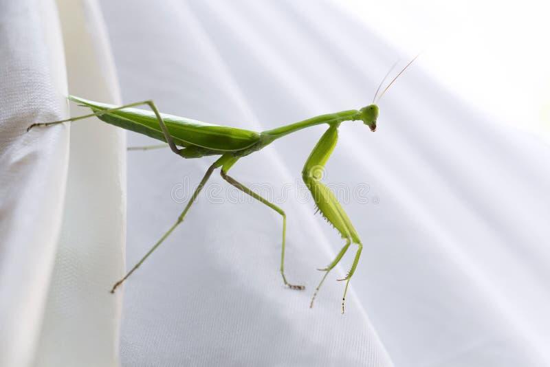 Saltamontes en el fondo blanco Vida de una mantis religiosa verde gigante, es especie depredadora del insecto habitando prados imagenes de archivo
