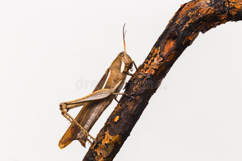 Saltamontes en fotografía macra, con el fondo blanco Insecto visto de mismo cierre foto de archivo libre de regalías