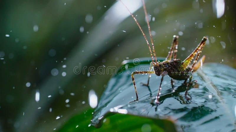 Saltamontes en las hojas verdes con gotas de lluvia de la mañana imagen de archivo libre de regalías