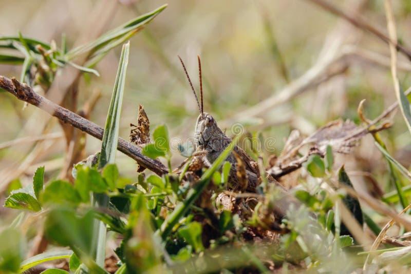 Saltamontes español que se sienta en la hierba foto de archivo libre de regalías