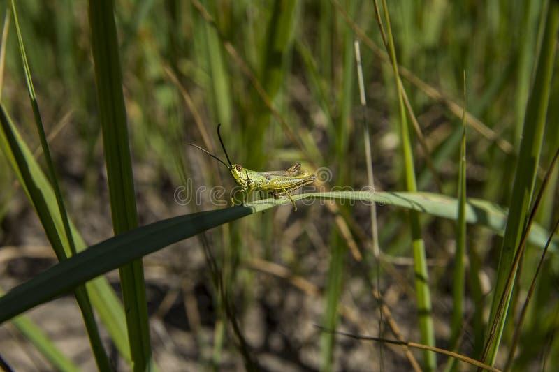 Saltamontes que se sienta en la hierba foto de archivo