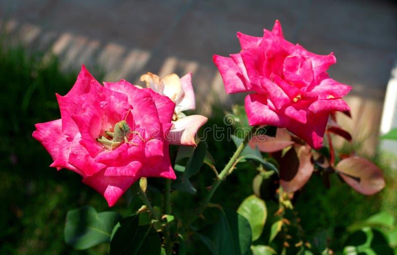Saltamontes que se sienta en un brote color de rosa rosado foto de archivo