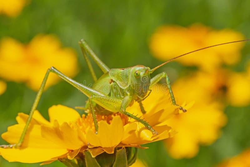 Saltamontes verde que se sienta en la flor amarilla en jard?n fotografía de archivo libre de regalías