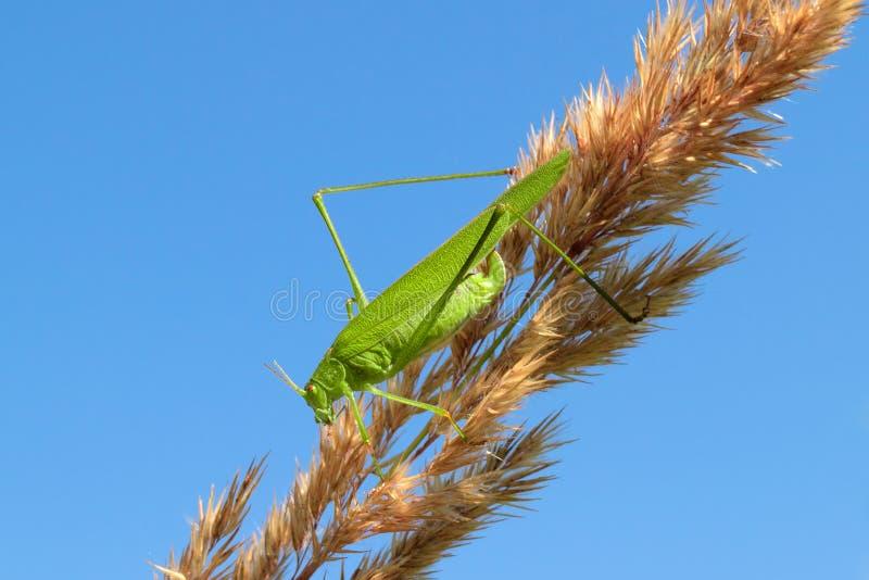 Saltamontes verde que se sienta en una cuchilla de la hierba, contra el cielo azul imagenes de archivo