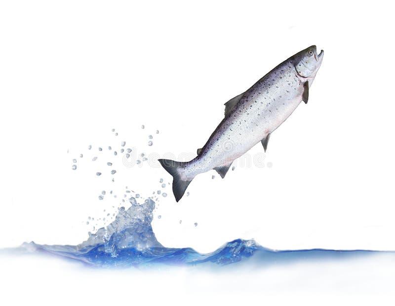 Saltando dai salmoni dell'acqua immagine stock