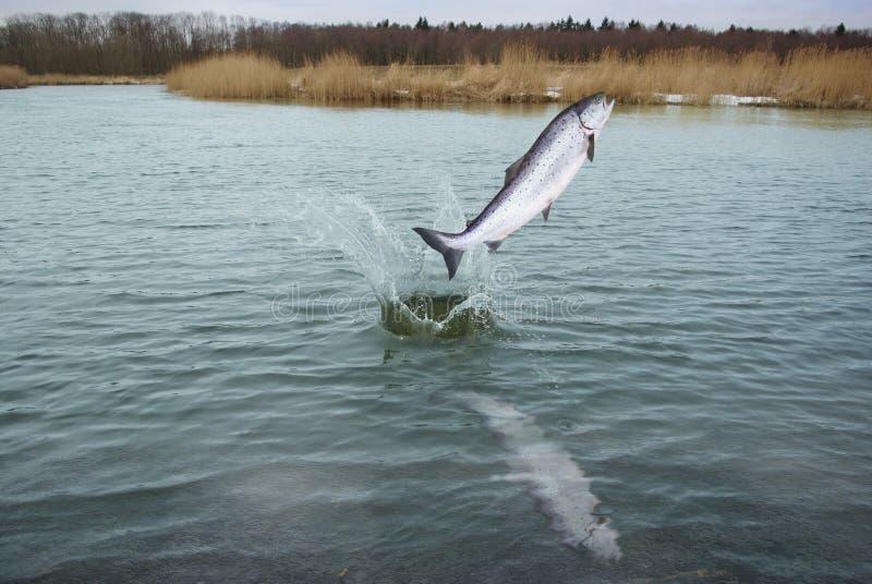 Saltando dai salmoni dell'acqua fotografie stock libere da diritti