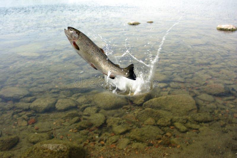 Saltando dalla trota dell'acqua immagine stock