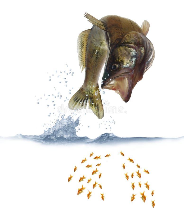 Saltando per lo zander dei pesci fotografia stock libera da diritti