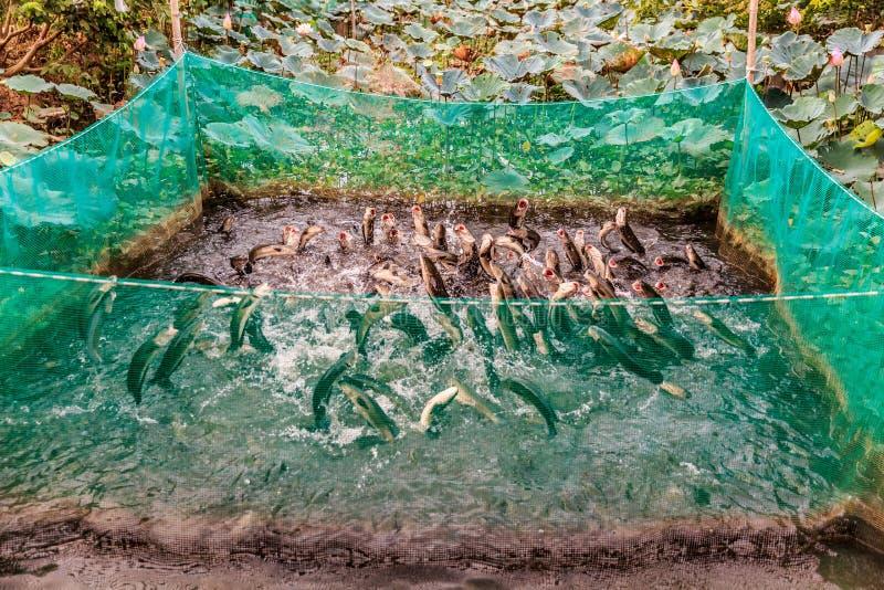 Saltar da água na cidade de Can Tho, delta dos peixes de Mekong, Vietname fotografia de stock