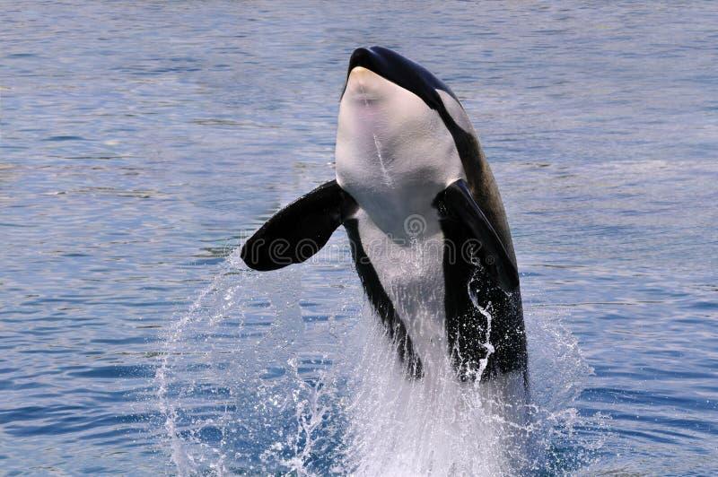 Saltar da baleia de assassino da água foto de stock royalty free