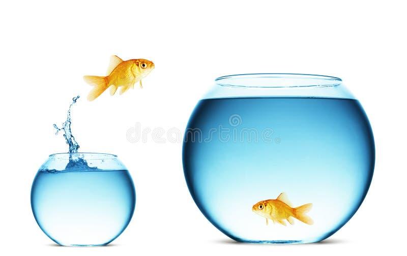 Saltar do Goldfish da água foto de stock