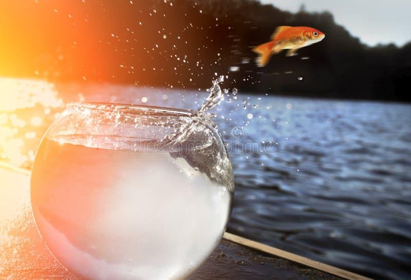 Saltar do Goldfish da água fotos de stock royalty free